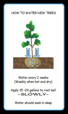 how to water new trees