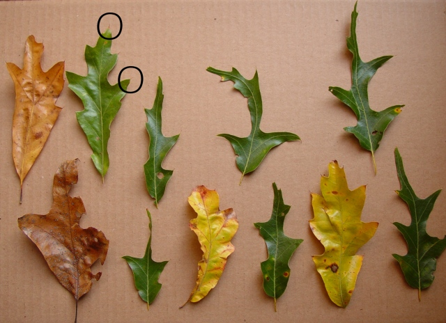 FHP mystery tree leaves with o