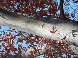 Fagus grandiflora, American beech - light gray, thin, smooth bark