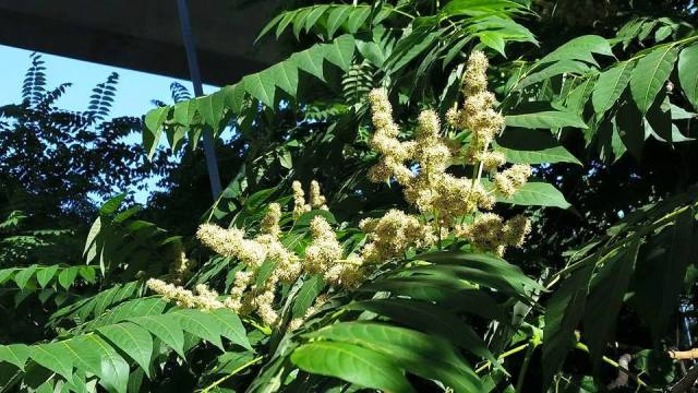 Ailanthus in bloom on Belle Isle