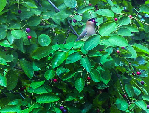 cedar waxwings in serviceberry 2